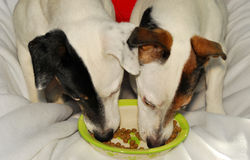 Payday for 2 modeling dogs. Two Jack Russell Terriers eating dry kibble from the same ceramic bowl Royalty Free Stock Photos