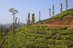 Pays de thé de Wayanad Photo stock