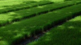 Pays de vert de gisement de riz Image libre de droits