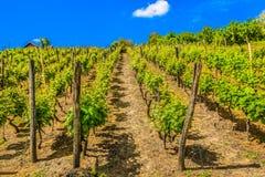 Paysage étonnant dans la région de Zagorje, vignobles Images libres de droits