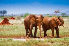 Paysage africain avec les éléphants rouges Images stock
