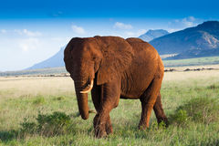Paysage africain avec les éléphants rouges Photographie stock libre de droits