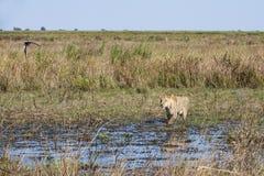 Paysage africain : Lionne marchant dans le marais Images stock