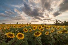 Paysage agricole avec des tournesols Photos libres de droits