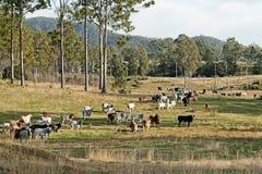 Paysage australien de pays de bétail d'eucalyptus Image libre de droits