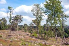 Paysage avec des arbres de bouleau et des arbres de Sylvestris de pinus photographie stock libre de droits