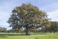 Paysage avec des chênes de chêne Photo libre de droits