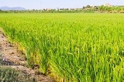 Paysage avec des gisements de riz Images stock