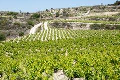 Paysage avec des rangées de vignoble Photo libre de droits