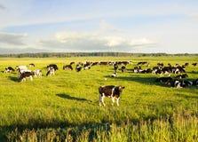 Paysage avec des vaches frôlant dans le domaine en été Photo stock