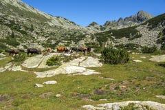 Paysage avec la cr?te et les vaches de Dzhangal sur les pr?s verts, montagne de Pirin, Bulgarie photo libre de droits