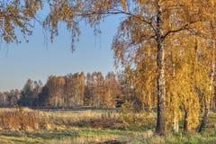 Paysage avec les bouleaux et la forêt d'or photo stock