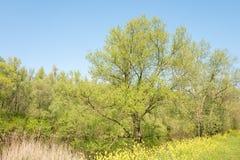 Paysage avec un lac au printemps avec des arbres de peuplier et des fleurs de colza photos stock