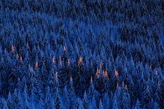Paysage bleu de montagne d'hiver, forêt d'arbre de bouleau avec la neige, glace et givre Lumière rose de matin avant lever de sol Photo stock