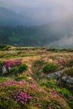 Paysage brumeux de montagne avec les fleurs de floraison de rhododendron photo libre de droits