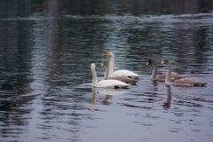 Paysage calme foncé d'automne sur une rivière brumeuse avec cygnes blancs et réflexion d'arbres dans l'eau La Finlande, rivière K images libres de droits