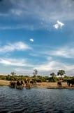 Paysage Chobe avec l'éléphant Photo stock