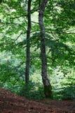 Paysage coloré avec la forêt de hêtre et le soleil, avec les rayons de la lumière lumineux brillant admirablement par les arbres  photos stock