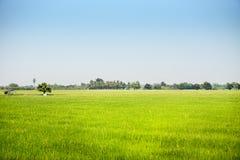 Paysage d'élever le gisement vert de riz dans la zone ample avec la lumière du soleil Photos libres de droits