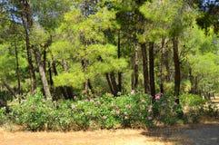 Paysage d'été avec des pins, Grèce photos libres de droits