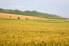 Paysage d'été avec le champ de grain Photo libre de droits