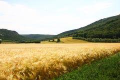Paysage d'été avec le champ de grain Photos stock