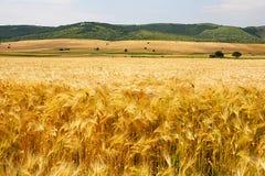 Paysage d'été avec le champ de grain Image libre de droits