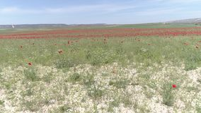 Paysage d'été avec le champ et le ciel de fleur de pavot et bleu rouge projectile Vue de beau ciel dedans classé et bleu de pavot clips vidéos