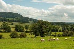 Paysage d'été et quelques moutons frôlant dans la campagne britannique Photographie stock libre de droits