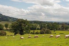 Paysage d'été et quelques moutons frôlant dans la campagne britannique Images stock