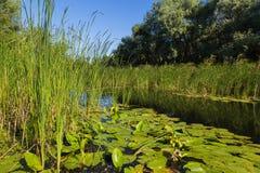 Paysage d'été sur le lac de forêt avec des nénuphars et des roseaux Photo libre de droits
