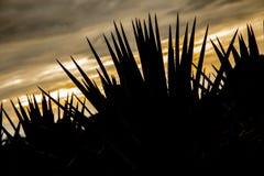 Paysage d'agave de tequila image libre de droits