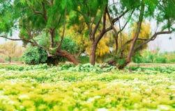 Paysage d'AnAmazing d'un arbre de propagation et d'un champ fleurissant avec les fleurs blanches et jaunes images libres de droits
