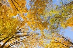 Paysage d'automne des arbres de tremble photo stock