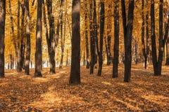 Paysage d'automne en parc un jour ensoleillé chaud, beaucoup de feuilles d'or rougeoyant au soleil, la période de l'automne de fe photographie stock libre de droits