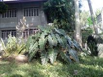 Paysage d'herbe de carabao Photo libre de droits