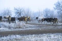 Paysage d'hiver dans le village Les vaches vont sur une route givrée de matin images stock