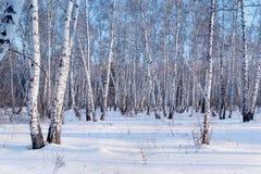 Paysage d'hiver de forêt de bouleau Photos libres de droits