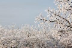 Paysage d'hiver des arbres givrés, neige blanche en parc de ville Arbres couverts de neige Photo libre de droits