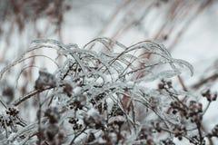 Paysage d'hiver : usines couvertes de la glace Photographie stock