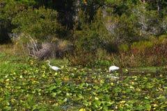 Paysage d'oiseaux de marécage de la Floride Image stock