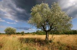Paysage d'oliviers d'été dans Istria Croatie photo stock
