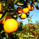 Paysage d'orangeraies de la Floride Photographie stock libre de droits