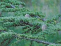 Paysage d'un cône de pin images libres de droits