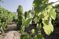 Paysage dans le vignoble pendant l'été Images libres de droits