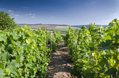 Paysage dans le vignoble pendant l'été Image libre de droits