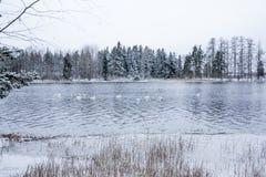 Paysage de calme d'hiver sur une rivière avec cygnes blancs La Finlande, rivière Kymijoki photo libre de droits