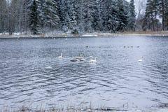 Paysage de calme d'hiver sur une rivière avec cygnes blancs La Finlande, rivière Kymijoki photo stock