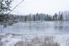 Paysage de calme d'hiver sur une rivière avec cygnes blancs La Finlande, rivière Kymijoki image stock