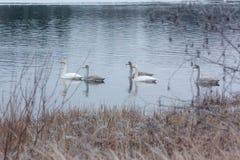 Paysage de calme d'hiver sur une rivière avec cygnes blancs La Finlande, rivière Kymijoki image libre de droits